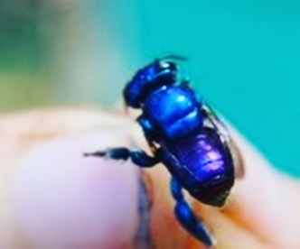 Orchid Bee Peru 2015